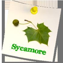 Sycamore Class